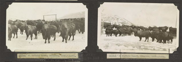 Many of the photos from the Yellowstone archive attempt to document the roving buffalo herds.