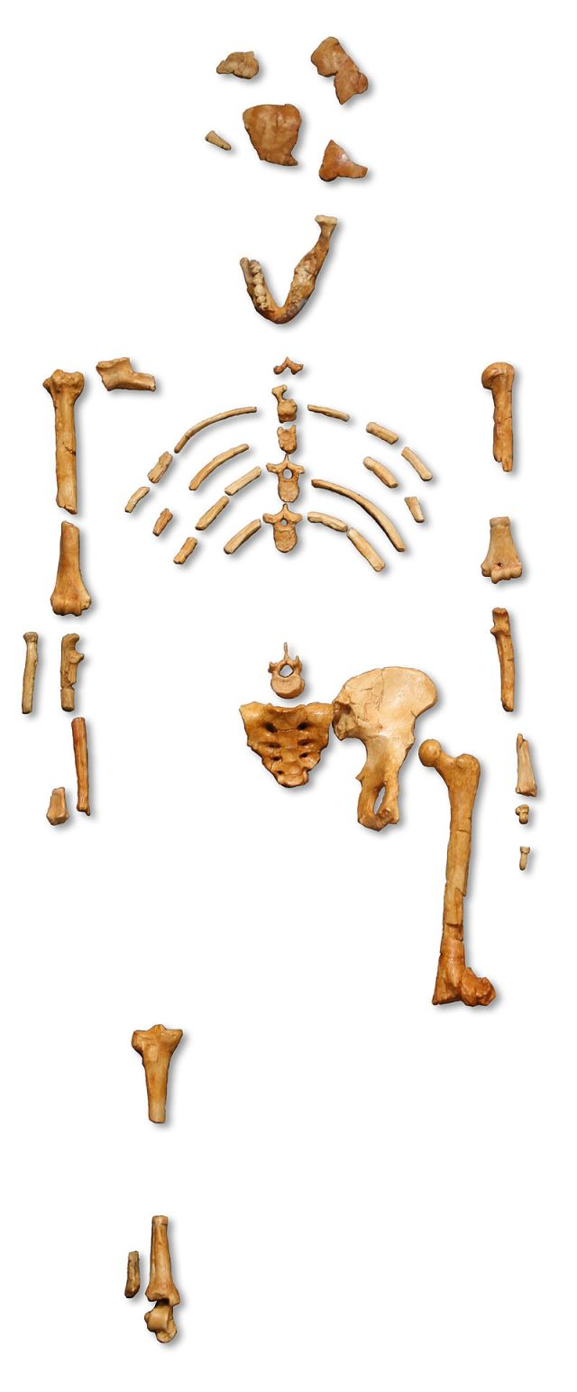 « Lucy » skeleton (AL 288-1) Australopithecus afarensis, cast from Museum national d'histoire naturelle, Paris Source: Wikimedia Commons