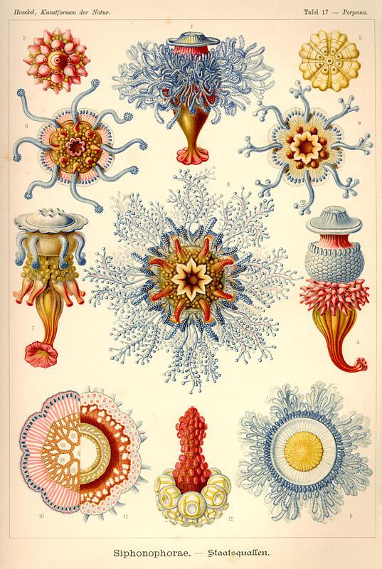Ernst Haeckel's: Kunstformen der Natur, 1899-1904, Tafel 17