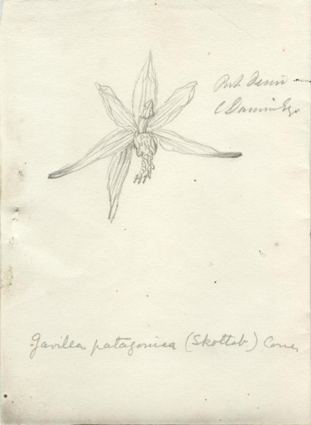 "Orchid, ""Port Desire, C. Darwin esq"" (Gavilea patagonica), 1833. THE BOARD OF TRUSTEES/ROYAL BOTANICAL GARDENS"