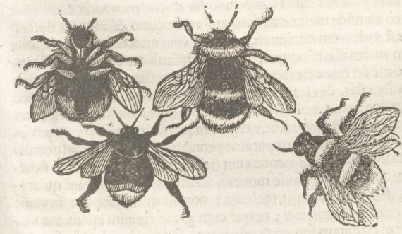 Woodcut of Bumblebees from Moffet's Insectorum sive Minimorum Animalium Theatrum