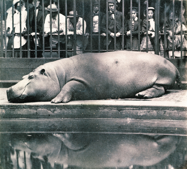 Obaysch the hippo was captured in 1849 and sent to London Zoo, where he became a sensation. SSPL/Getty