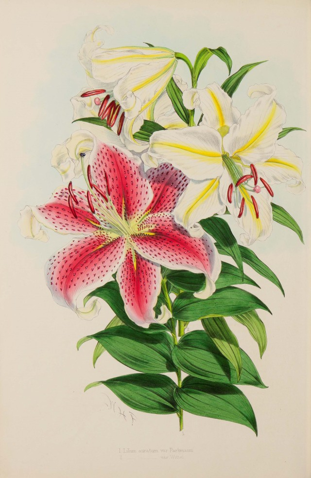 H.J. Elwes, A monograph of the genus Lilium, z.p., 1880