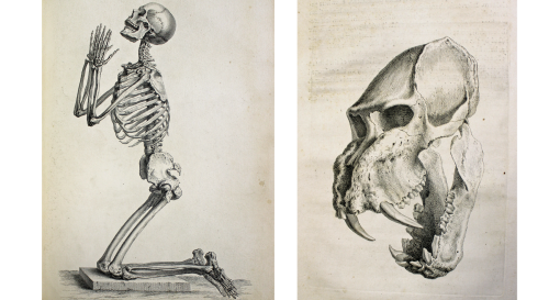 Illustrations of a male human skeleton and the skull of a male tiger in Osteographia, or The anatomy of the bones. William Cheselden, published London, 1733