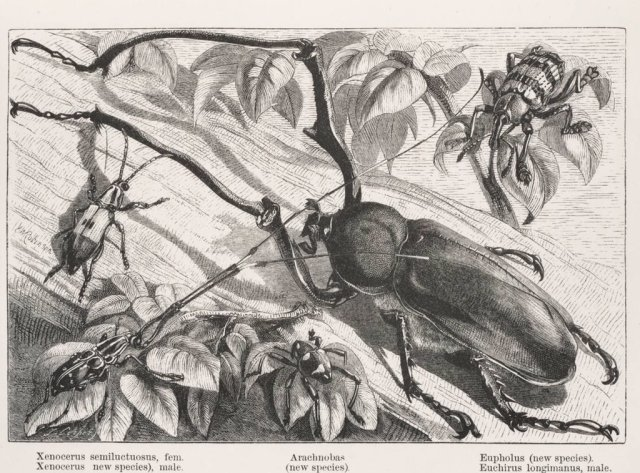 Beetles illustrated in The Malay Archipelago by A.R. Wallace