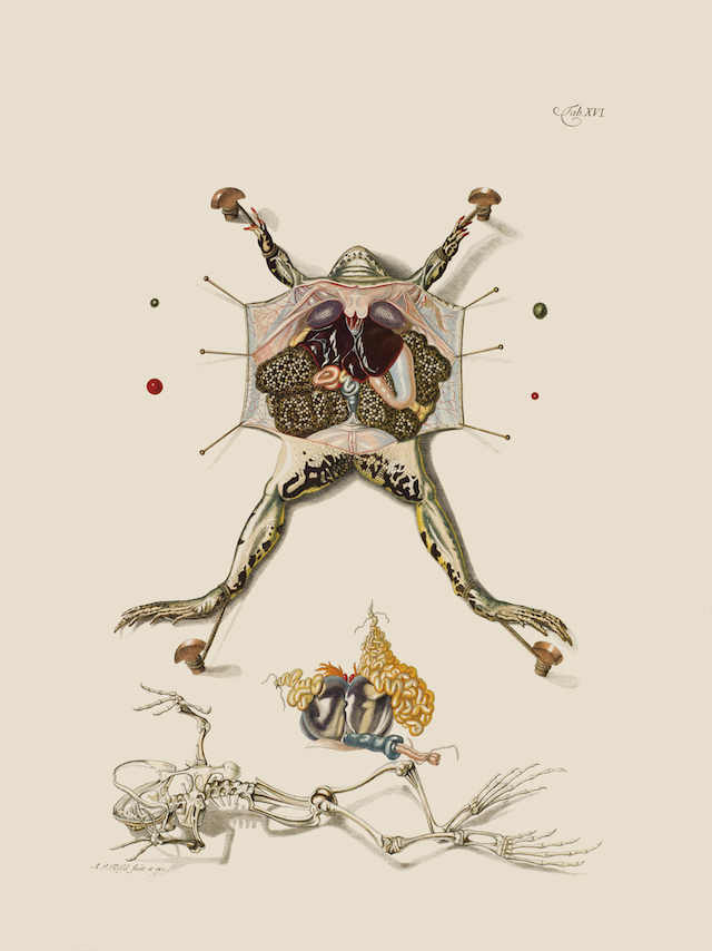 "Frog dissection illustration from the book ""Historia naturalis ranarum nostratium…(Natural history of the native frogs…)"" from 1758 (© AMNH\D. Finnin)"