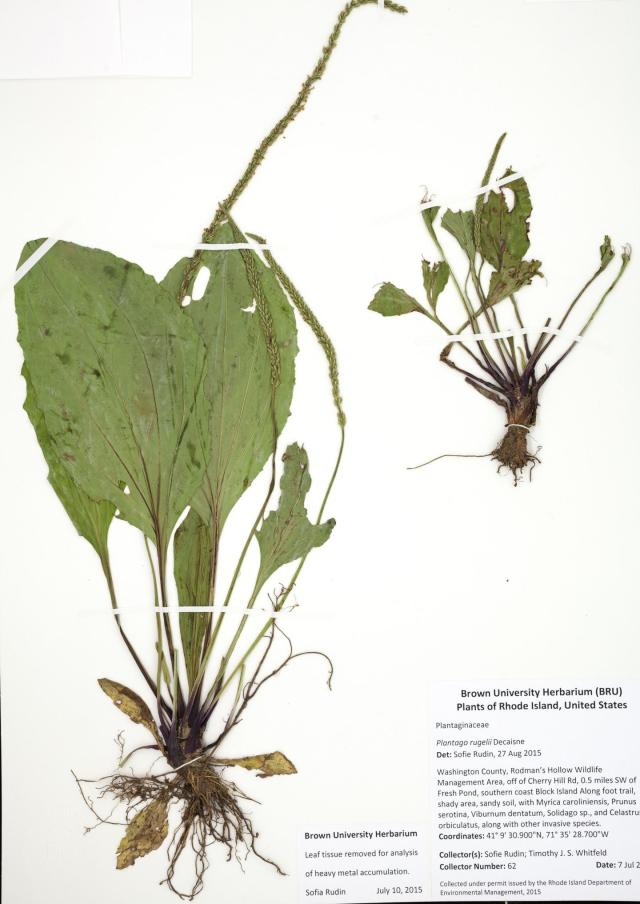 IMAGE: A SPECIMEN OF PLANTAGO RUGELII COLLECTED IN 2015 FOR COMPARISON OF HEAVY METAL ACCUMULATION WITH HISTORICAL SPECIMENS FROM THE BROWN UNIVERSITY HERBARIUM COLLECTION. CREDIT: SOFIA M. RUDIN, DAVID W. MURRAY, AND TIMOTHY J. S. WHITFELD. FROM RUDIN, SOFIA M., DAVID W. MURRAY, AND TIMOTHY J. S. WHITFELD. 2016. RETROSPECTIVE ANALYSIS OF HEAVY METAL CONTAMINATION...
