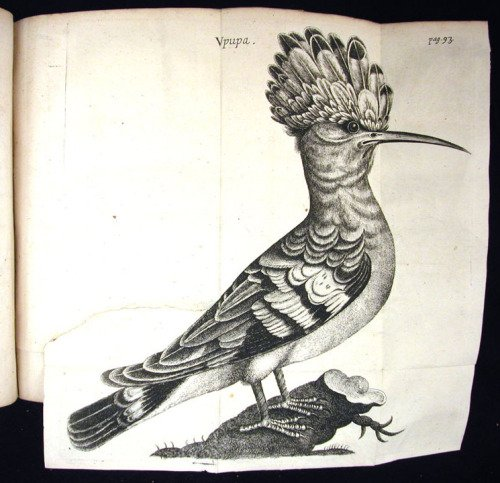 This hoopoe brought to you by English natural philosopher Walter Charleton