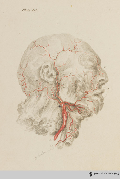 Plate 3, showing the carotid artery, the lower thyroid artery and the upper thyroid artery in Charles Bell's Engravings of the Arteries, 1801.